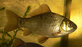 Crucian Carp - Wild Goldfish