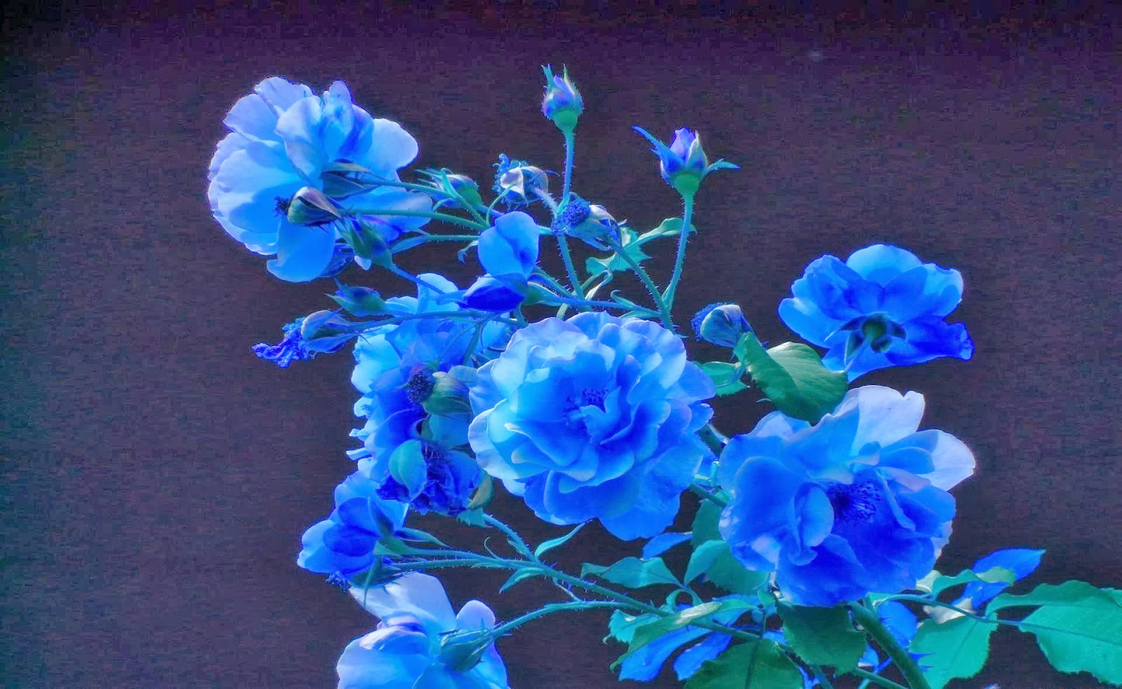 blue roses wallpapers | puspa wallpapers