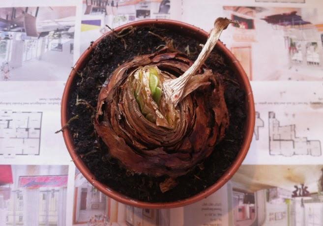 Kruka med amaryllislök.