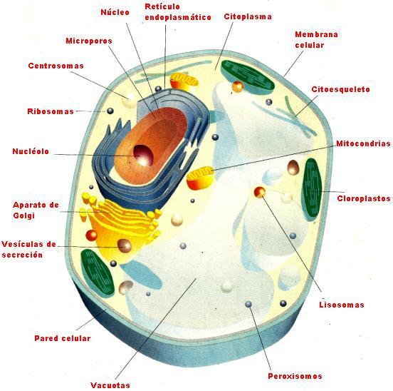 Imagen de la Célula Vegetal indicando sus partes