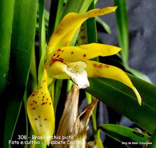 Maxillaria picta, Maxillaria punctata, Maxillaria rupestris
