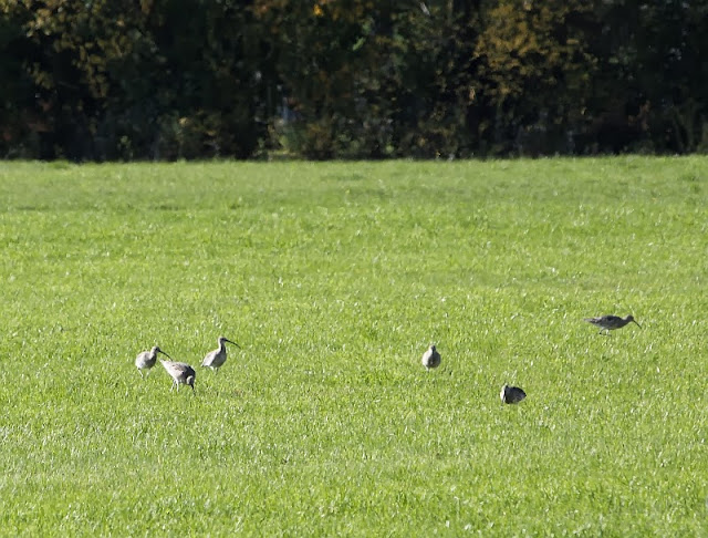 Brachvögel Altmühlsee