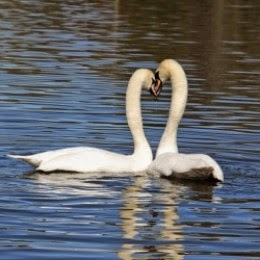 mating display mute swans