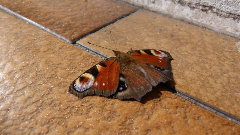 farfalla, occhio di pavone, inachis io