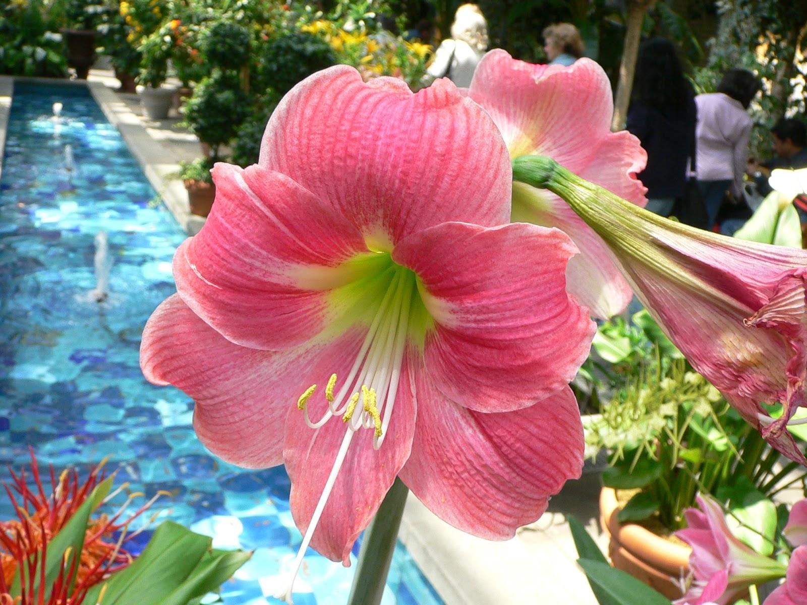 Amaryllis flower for Amaryllis rose