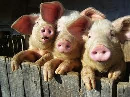 porcos sao animais inteligentes