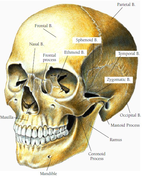 Anatomy Made Easy Human Anatomy Of Head And Neck