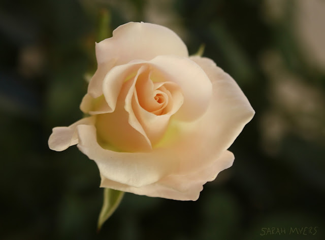 flower, rose, roses, photography, sarah myers, photograph, bloom, petals, macro, perfect, beautiful, white, cream, ivory, rosa, flores, plantas, nature, natura, close-up, patio, plants, garden, tea, iceberg, classic