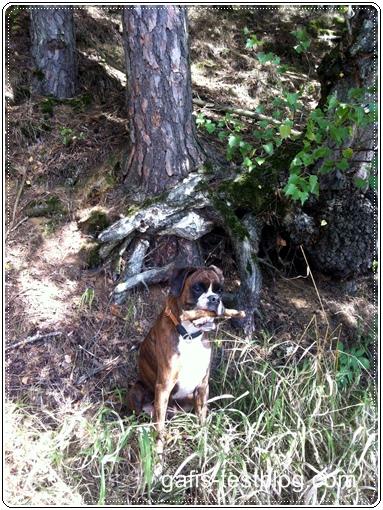 Boxer Amy an der großen Baumwurzel