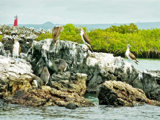 Blue footed boobies and galapagos penguins sitting together on a rock