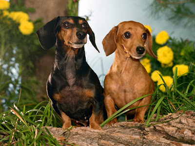 perros salchichas wallpaper