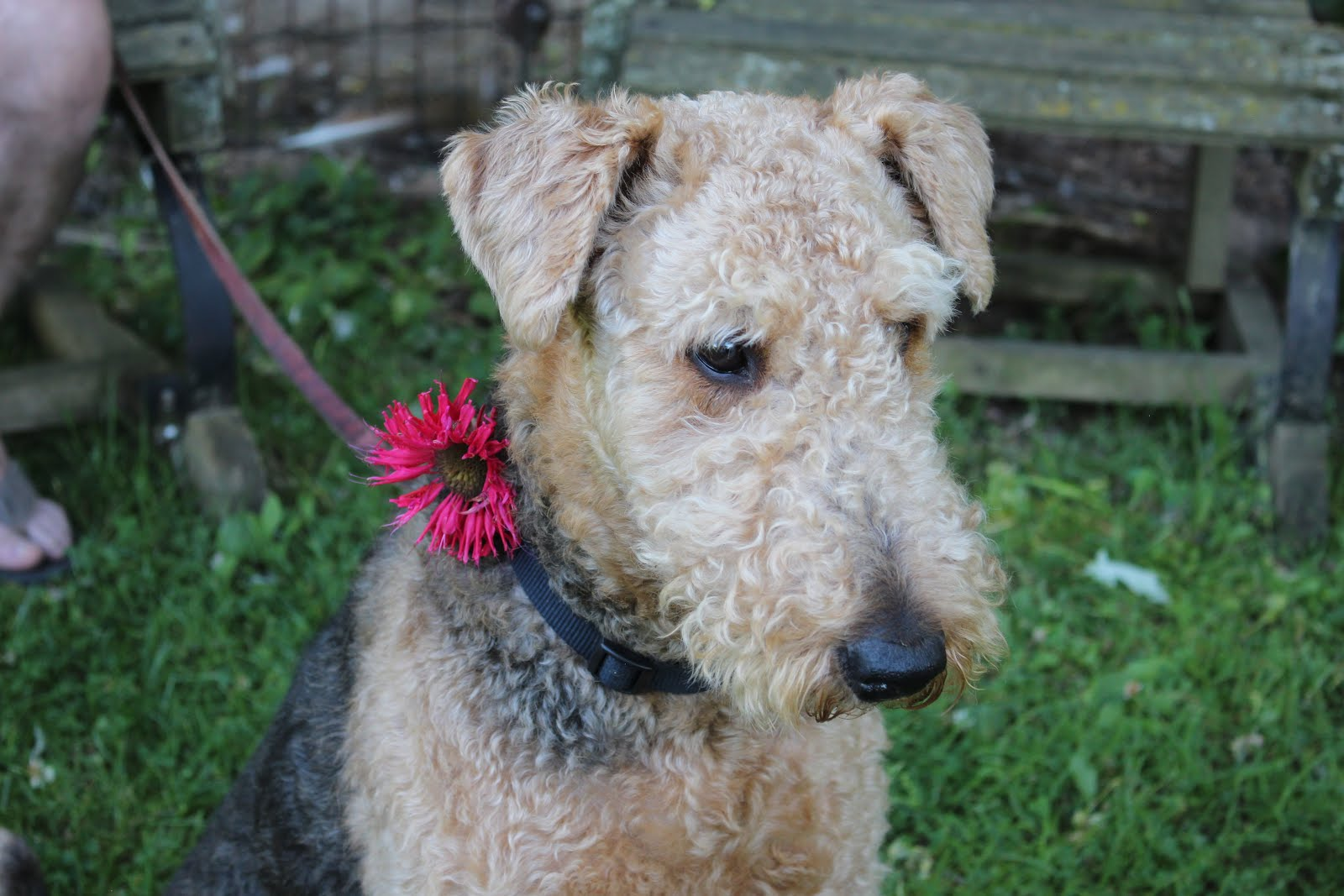 Luke our Airedale