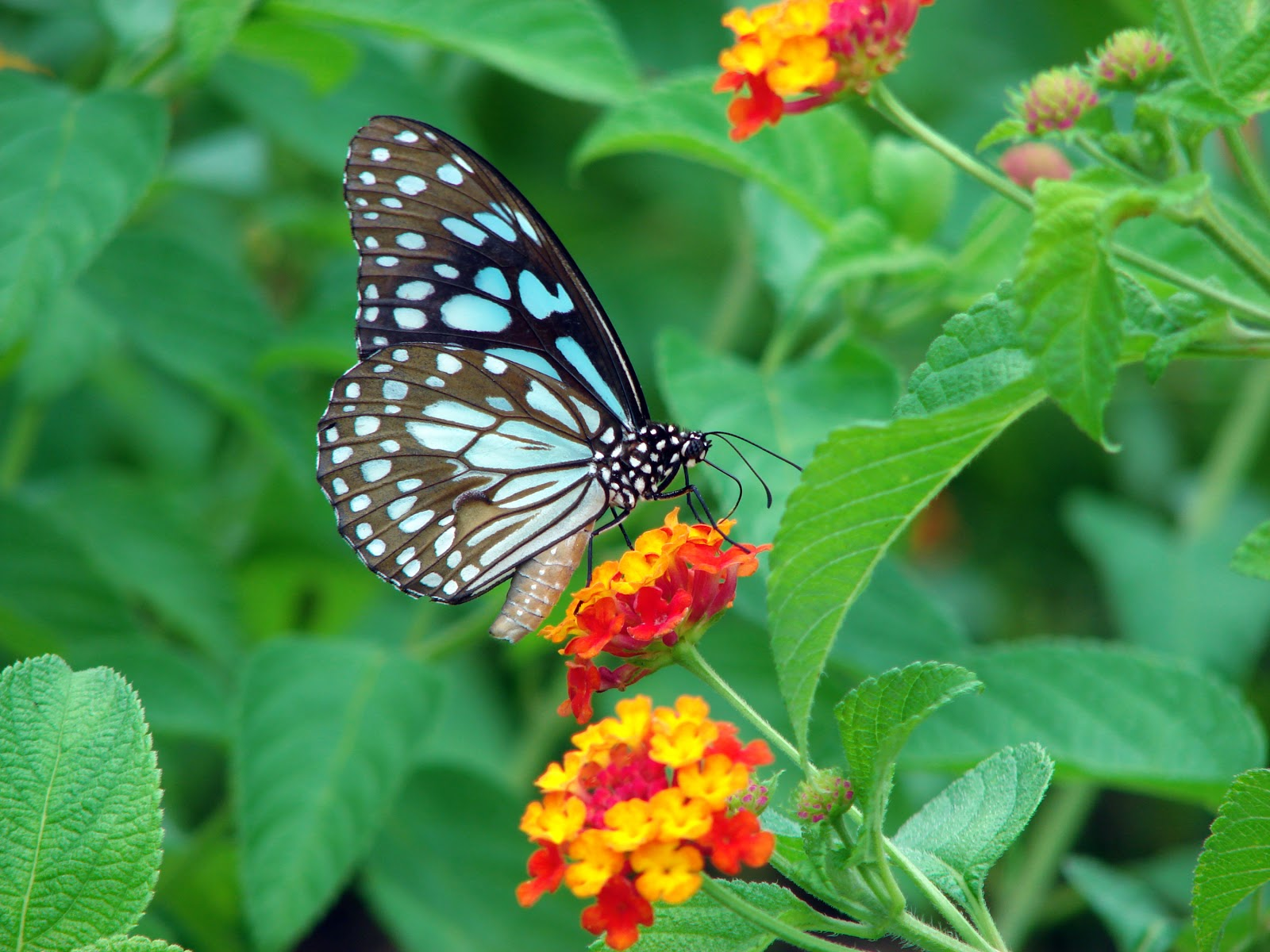 Beautiful Butterfly Wallpapers Pictures Of Butterflies