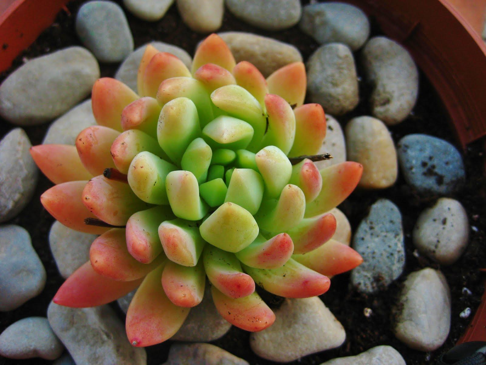 Mis plantas crasas for Nombres de cactus y suculentas