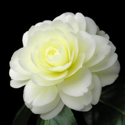 Hoa trà kép