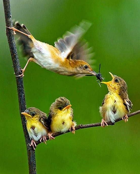 Descrição da imagem: Sobre um fundo verde, pássaros pousados em um galho em forma de L. Três filhotes estão pousados na parte horizontal do L. Do lado esquerdo, a mãe está com as patas apoiadas na parte vertical do L, ela bate as asas velozmente enquanto equilibra-se no galho e alimenta o filhote que está na ponta do galho horizontal, com o bico aberto a espera do inseto. Os outros dois filhotes estão sentados juntinhos na junção do L.