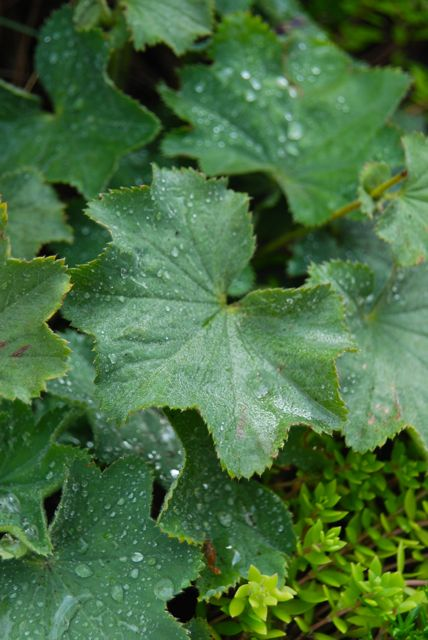 One of the best leaves for catching water drops: the waxy and serrated lady's mantle (Alchemilla mollis).