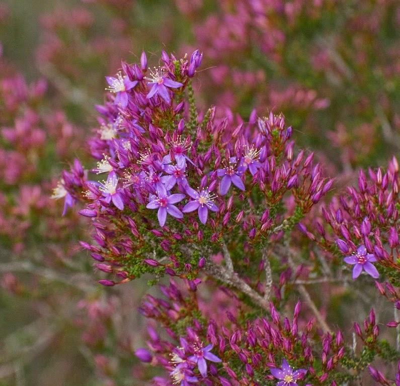 Starflower (Calytrix cf leschenaultii)