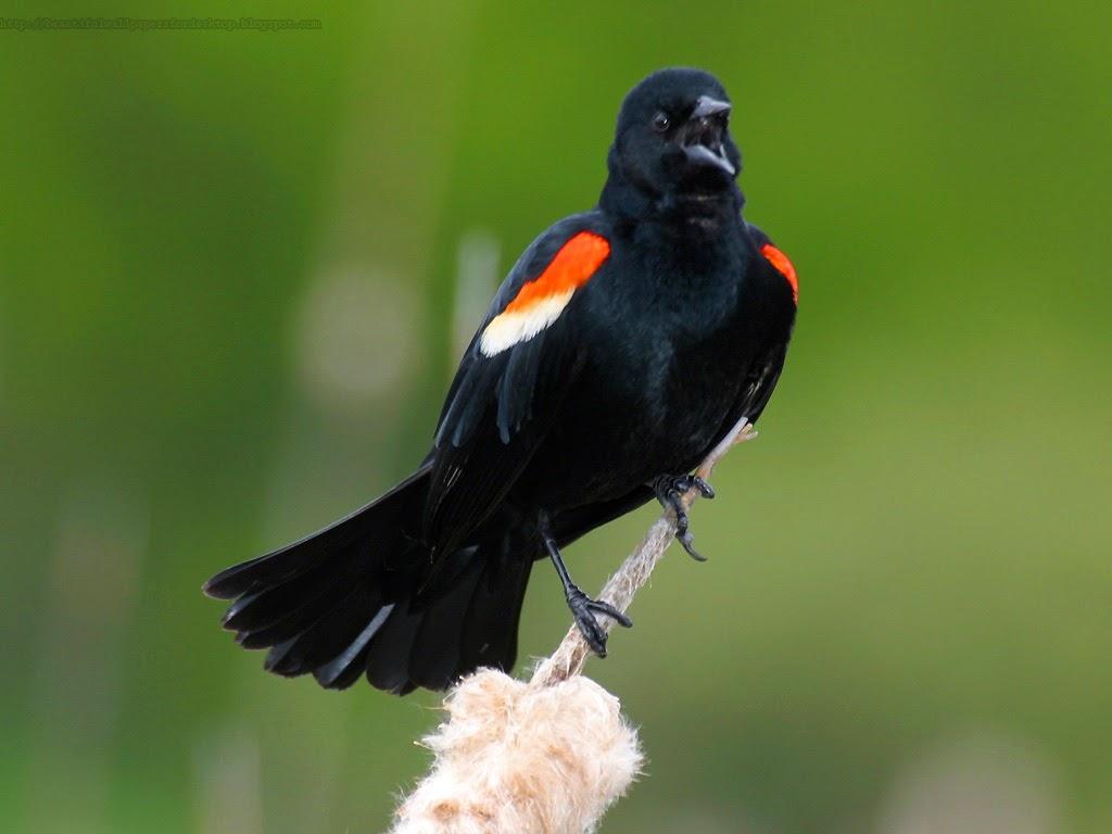 http://beautifulwallpapersfordesktop.blogspot.com/2014/01/red-winged-blackbird-wallpapers-hd.html