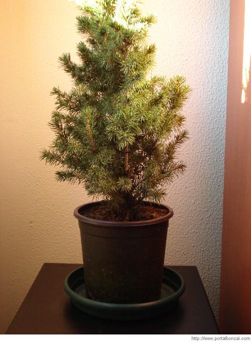 Picea glauca conica un bonsai como cuidar un bonsai - Como cuidar un bonsai ...