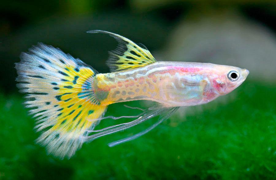 Acquario in appartamento Yellow-Snake-Skin-Blond-Ribbon