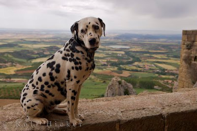 The Dalmatian Most Dangerous Dogs