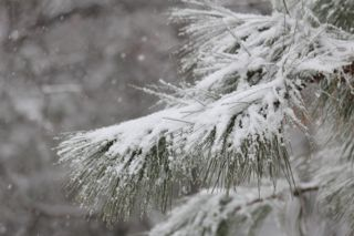 photo of snow on pine needles