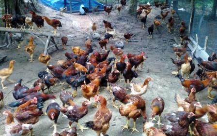 Image result for telur dan ayam kampung
