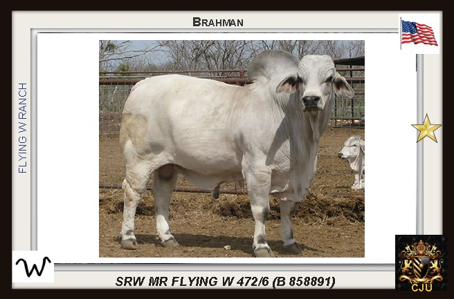 The Grey Brahman most viewed in this Blog with 1955 views