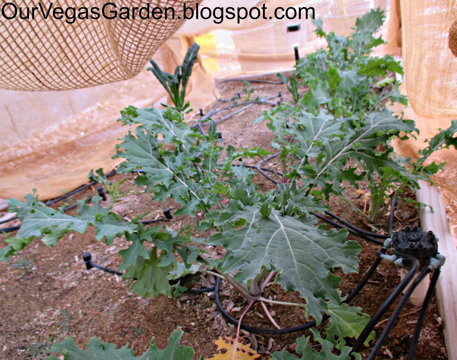 how to grow kale in the winter