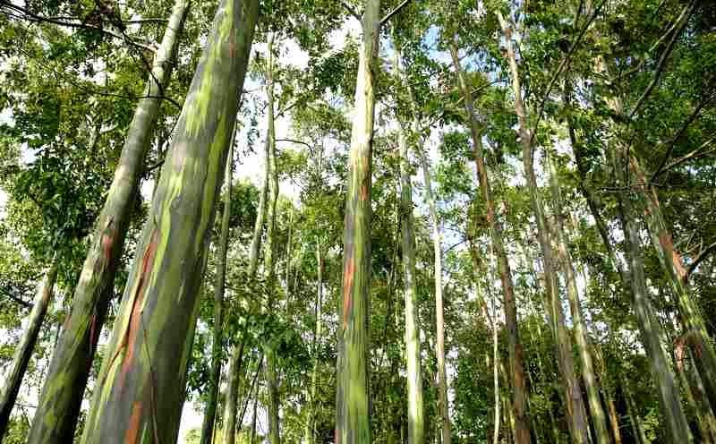 Ampupu menghasilkan minyak Atsiri dalam jumlah yang cukup banyak, sehingga kerap dimanfaatkan secara komersil