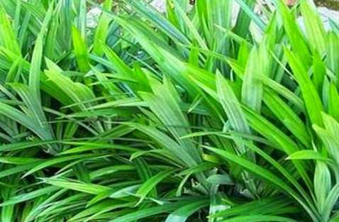 manfaat daun pandan wangi