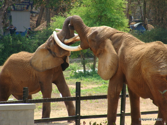 elephants fighting mysore zoo