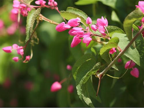 Sem abelha sem alimento: planta melífera Amor-agarradinho (Antigonum leptopus)