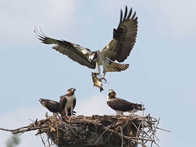 Osprey with Fish at the Nest