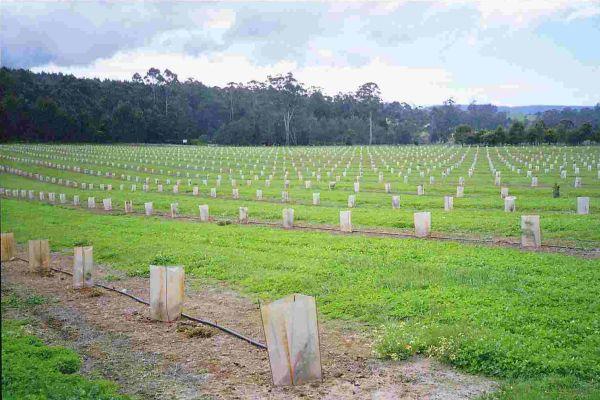 Выращивание трюфелей в домашних условиях технология