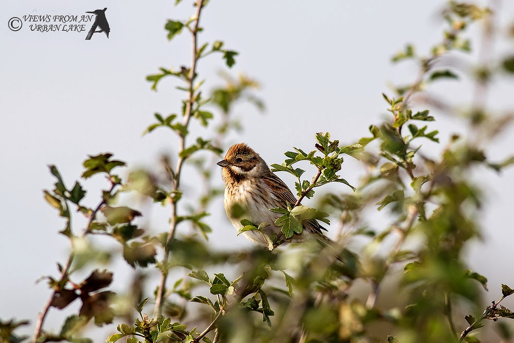 Reed Bunting (taken with flash) - Wolverton Mill, Milton Keynes