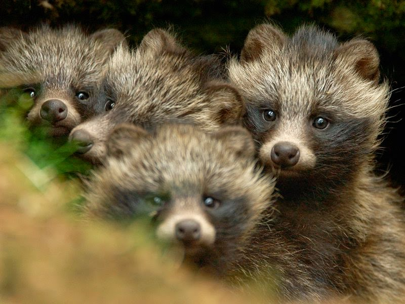 Animals You May Not Have Known Existed - Raccoon Dog