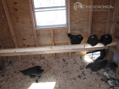 This is the Little Deuce coop, which can be seen in my Virtual Coop Tour. We installed these temporary roosts so the Black Copper Marans chicks could move in but we intended to install a droppings board when time permitted. (It's obvious they were molting when this shot was taken. Those shavings were no more than a day old.) The position of the nest boxes and pop door (on the right in this photo) presented installation challenges for the roosts and the DB.