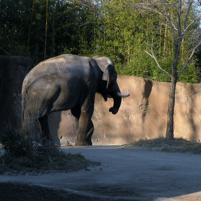 Elephant St. Louis Zoo