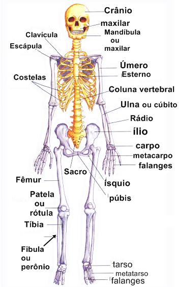 Tendmais os principais ossos do corpo humano e suas fun es for O osso esterno e dividido em