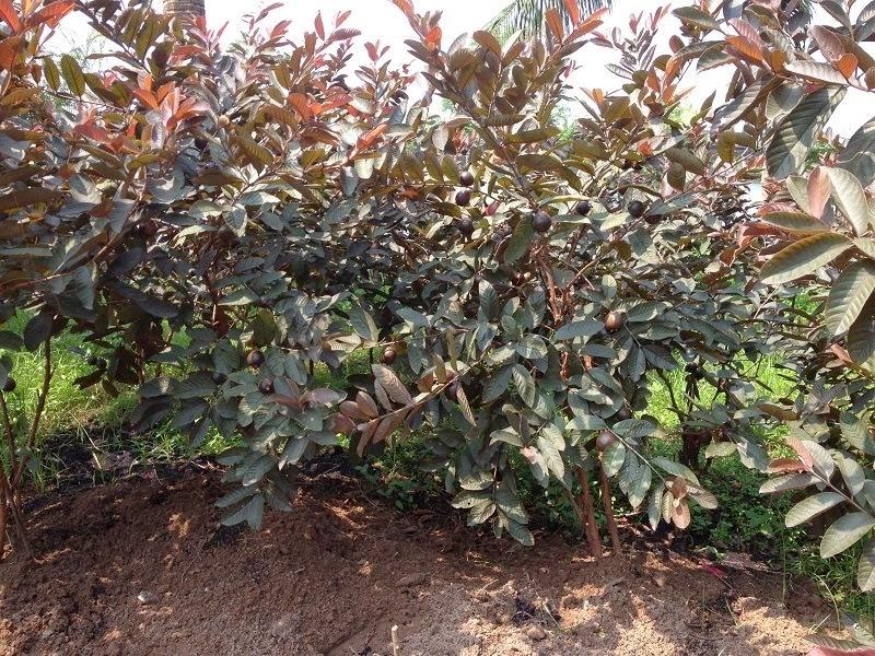 Trồng cây ăn quả