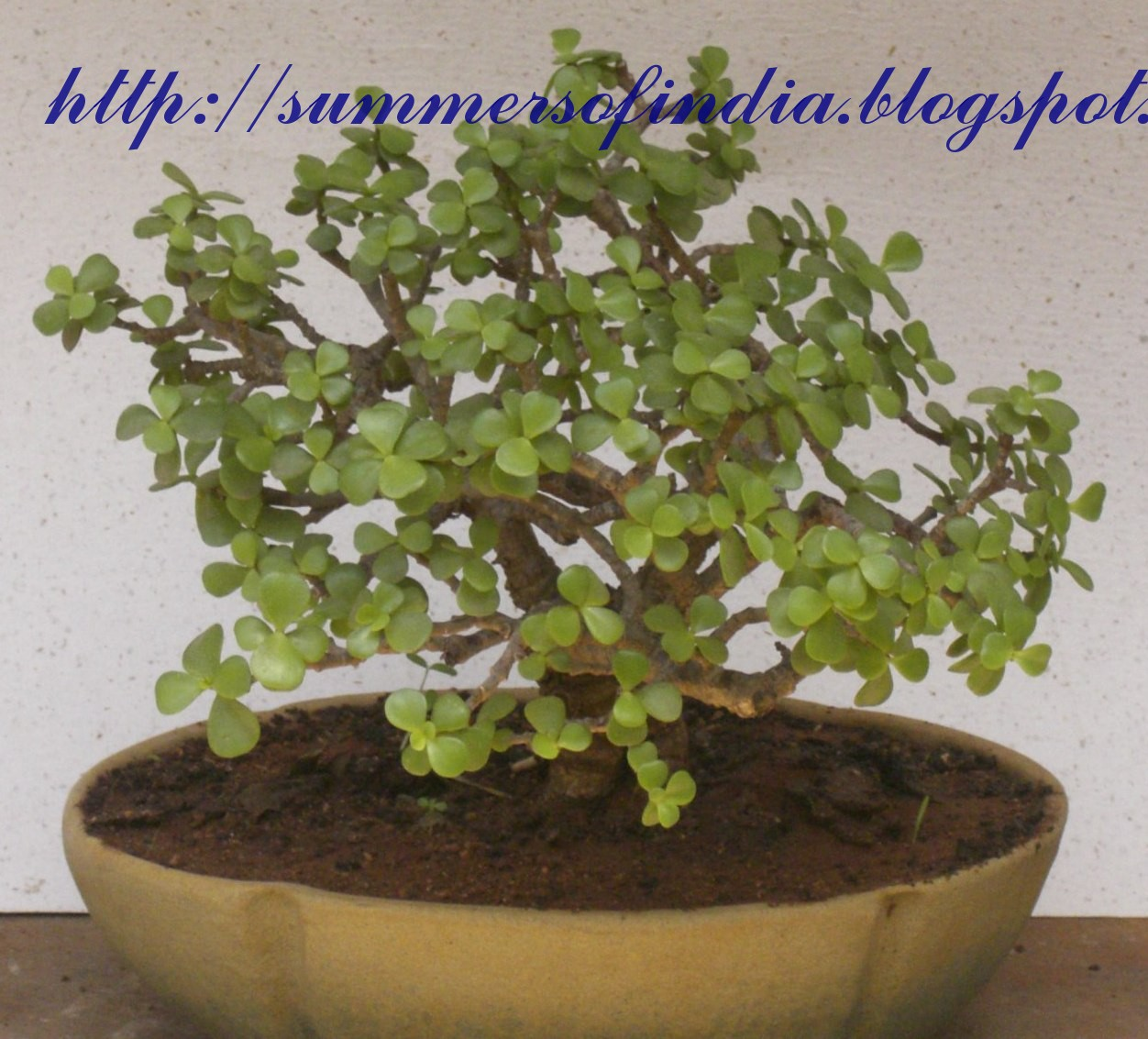 SummersofIndia Jade Bonsai