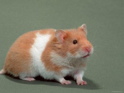 Russian Dwarf Hamster  Campbells Winter White amp Hybrids