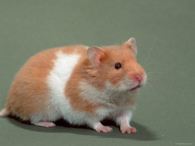 bear hamsters syrian hamster female larger than male syrian hamsters