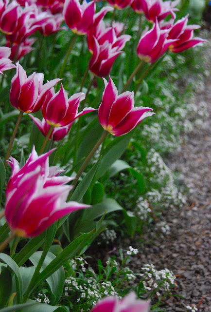 Tulip 'Synaeda Blue' with white alyssum.