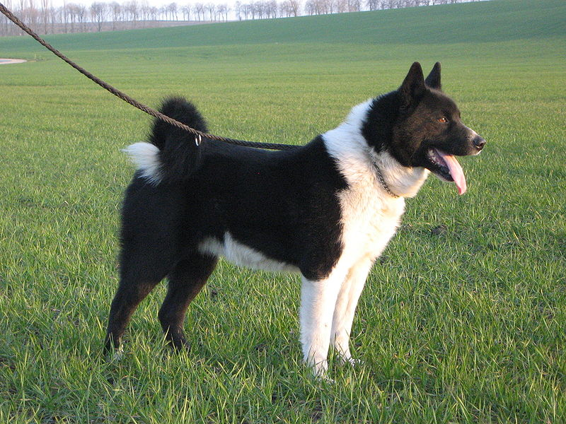 Finland Dog Breed
