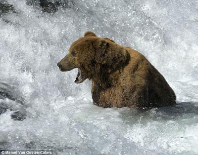 Beruang tunggu ikan tak muncul, sampai tertidur