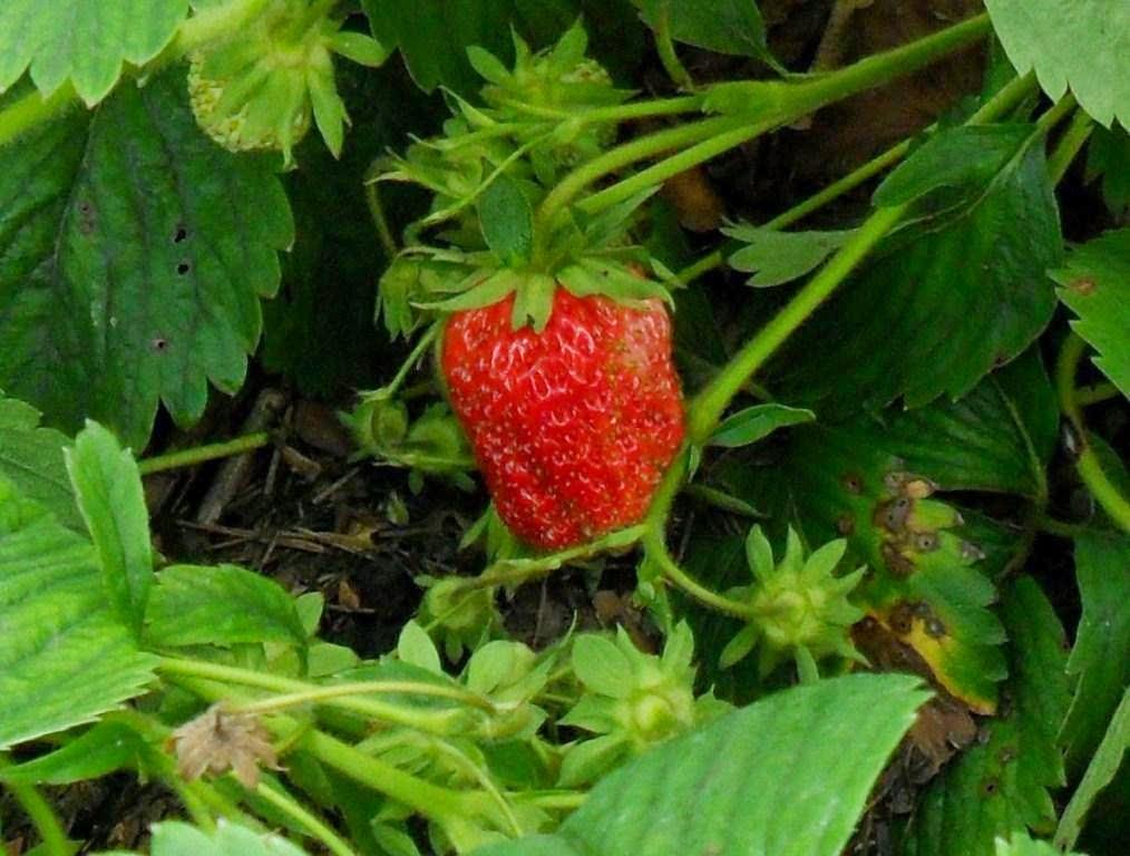 Первые ягодки Идун
