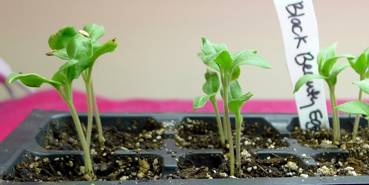 Egplant seedlings, grow lights